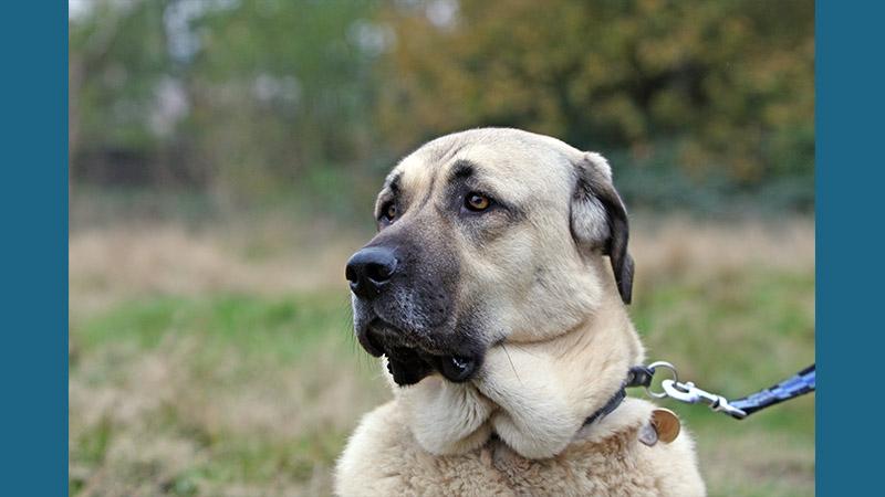 Anatolian Shepherd Dog 9