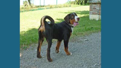 Appenzeller Sennenhunde 1