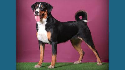 Appenzeller Sennenhunde 12