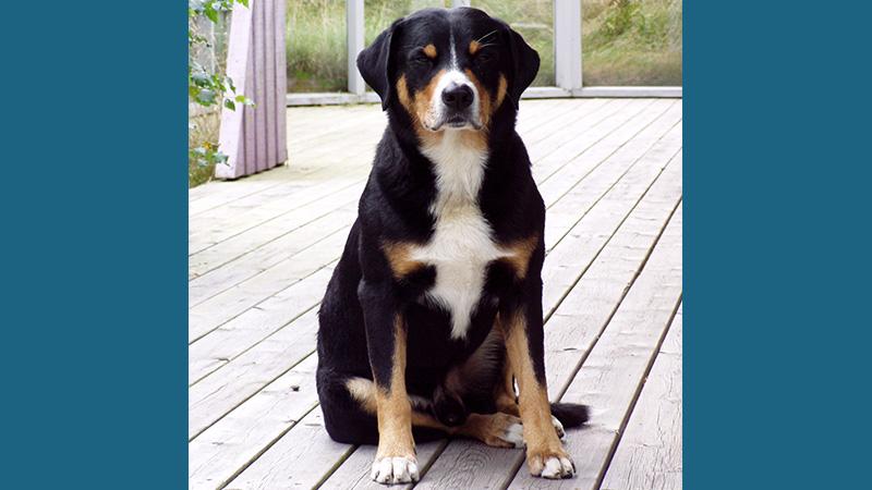 Appenzeller Sennenhunde 14