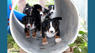 Appenzeller Sennenhunde 5