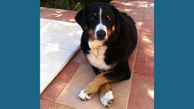 Appenzeller Sennenhunde 6