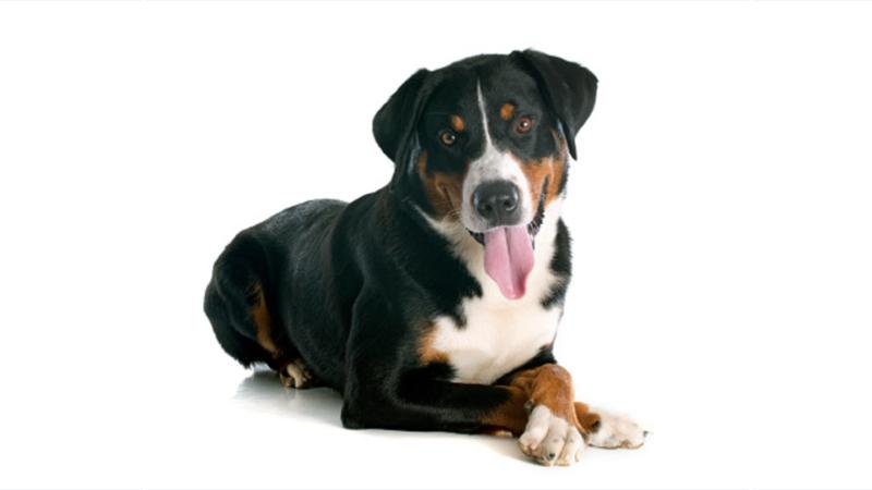 Appenzeller Sennenhunde 8