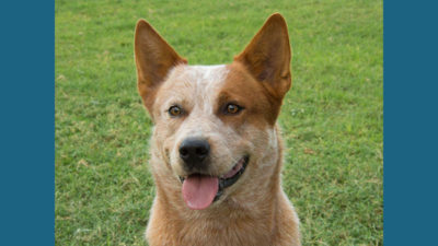 Australian Cattle Dog 1