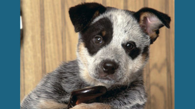 Australian Cattle Dog 10