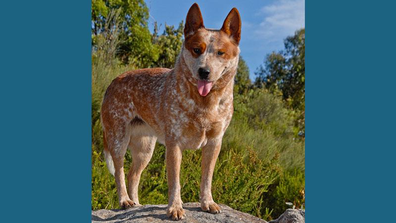 Australian Cattle Dog 11