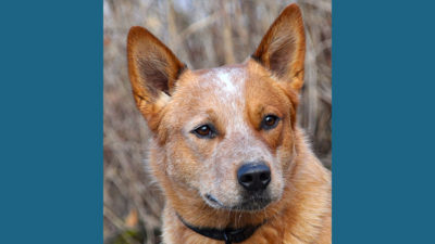 Australian Cattle Dog 12