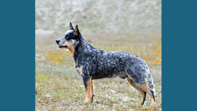 Australian Cattle Dog 13