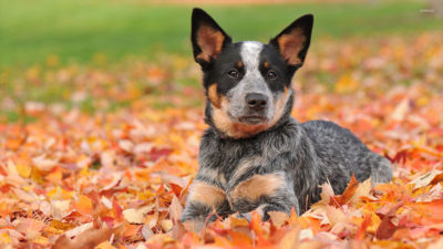 Australian Cattle Dog 14