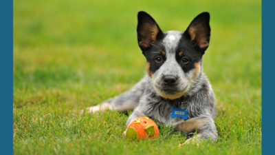 Australian Cattle Dog 15