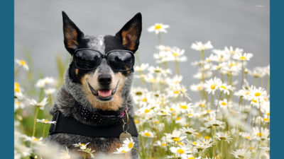 Australian Cattle Dog 16