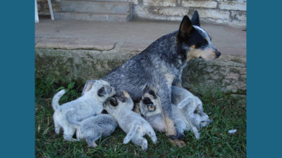 Australian Cattle Dog 17