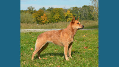 Australian Cattle Dog 18