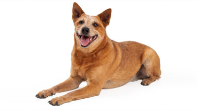 Australian Cattle Dog 19