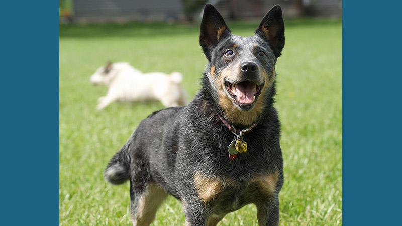 Australian Cattle Dog 4