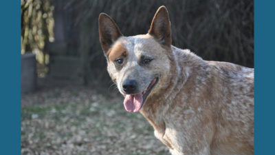 Australian Cattle Dog 5