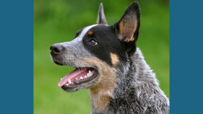 Australian Cattle Dog 6