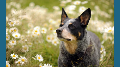 Australian Cattle Dog 7