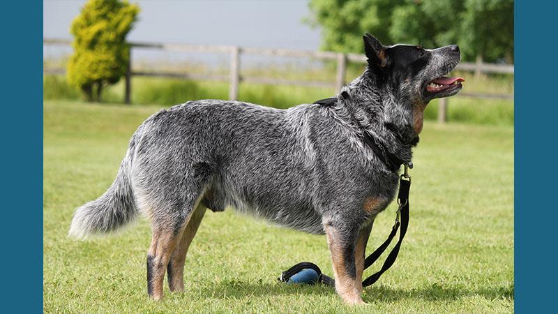 Australian Cattle Dog 8