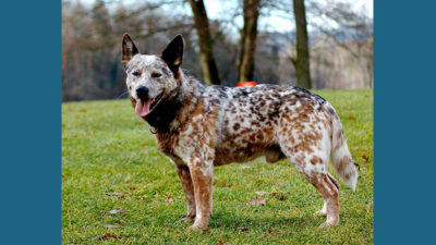 Australian Cattle Dog 9
