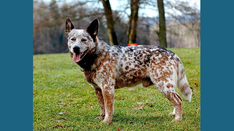 Australian Cattle Dog 9