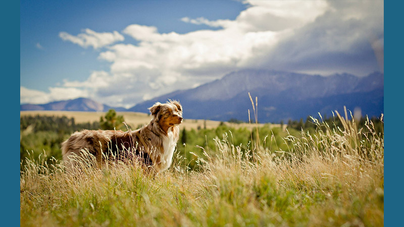 Australian Shepherd 14