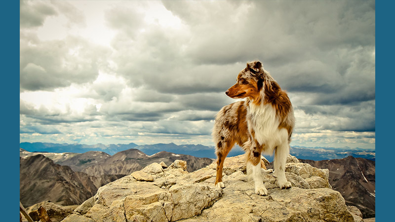 Australian Shepherd 17