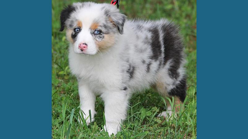 Australian Shepherd 4