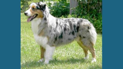 Australian Shepherd 5