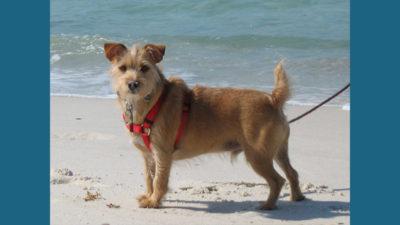 Australian Terrier 10