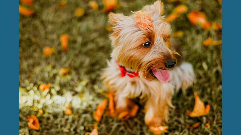 Australian Terrier 12