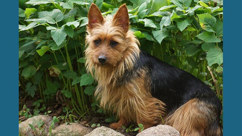 Australian Terrier 13