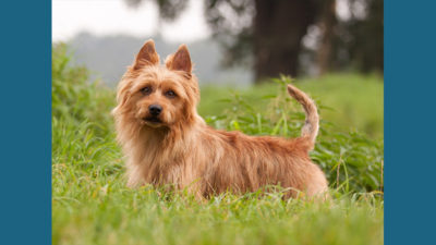 Australian Terrier 14