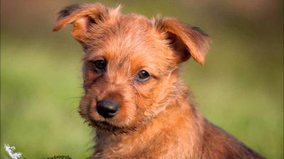 Australian Terrier 15