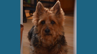 Australian Terrier 16