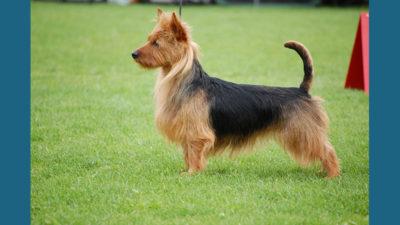 Australian Terrier 17