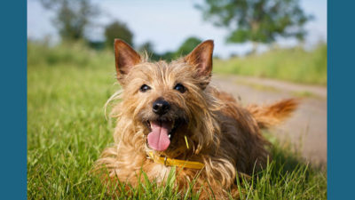Australian Terrier 3