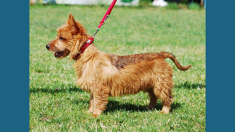 Australian Terrier 5