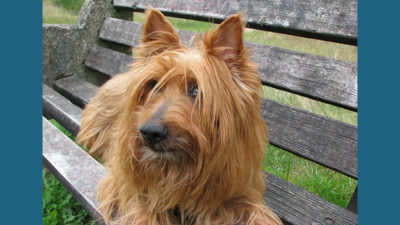 Australian Terrier 8