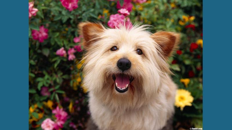 Australian Terrier 9