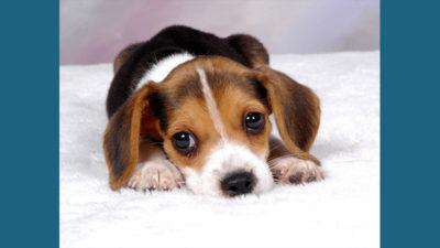 Beagle 11