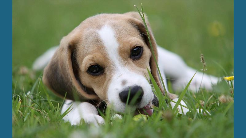 Beagle 12