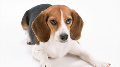 Beagle 13