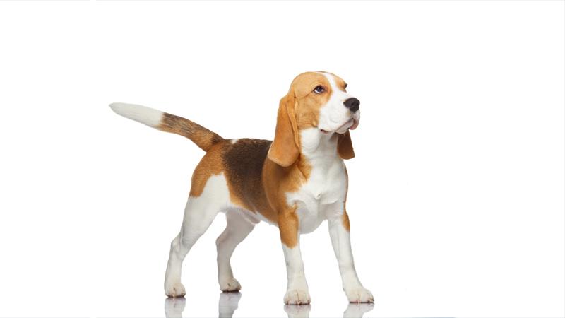 Beagle 14