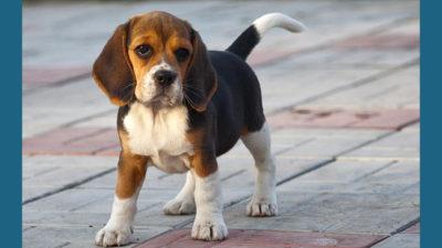 Beagle 15