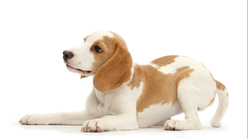 Beagle 17