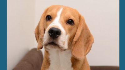 Beagle 18