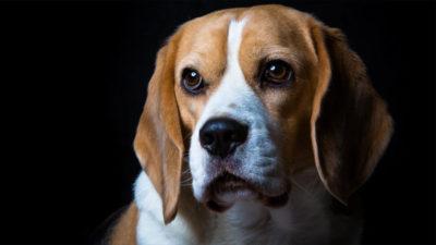 Beagle 19