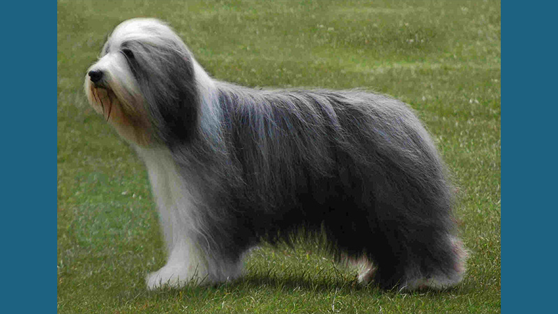 Bearded Collie 1