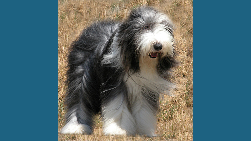 Bearded Collie 10